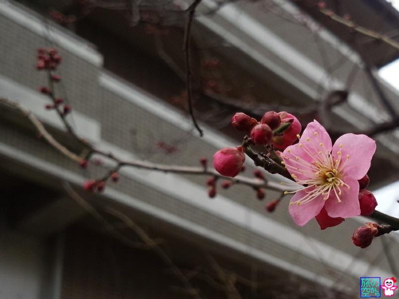 きょうの梅(修徳公園)