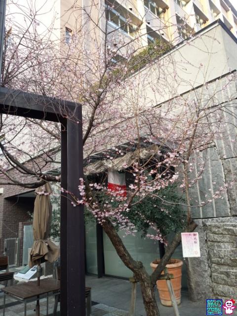 きょうの桜(御池桜)