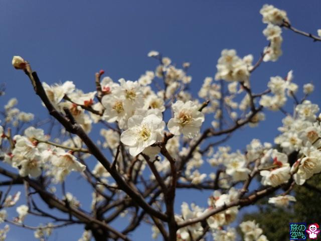 きょうの桜と梅(梅小路公園)