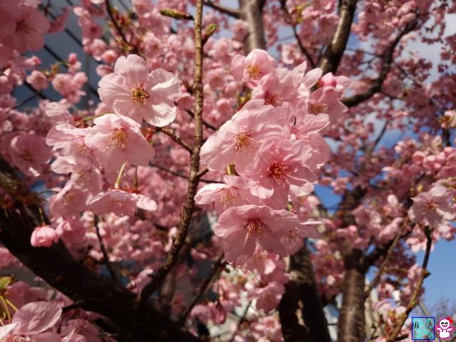 きょうの桜(修徳公園、御池間之町東入、六角堂)