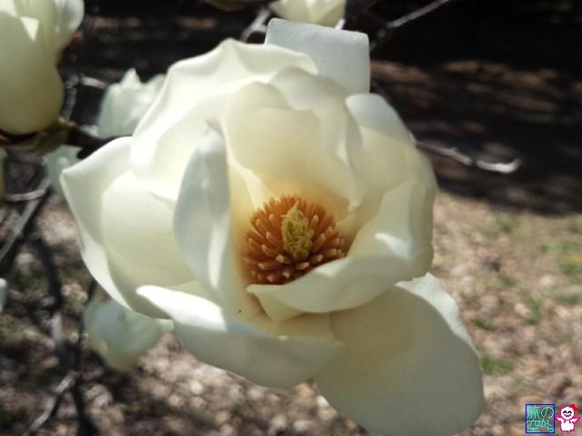 きょうの桃とか(京都御苑)
