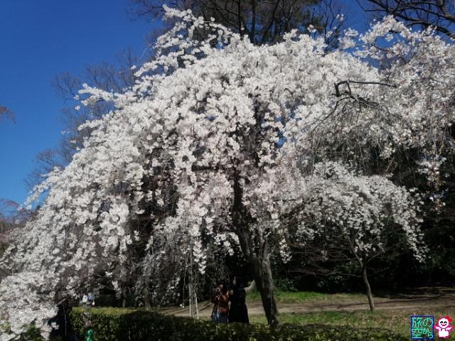 きょうの桜(京都御苑)