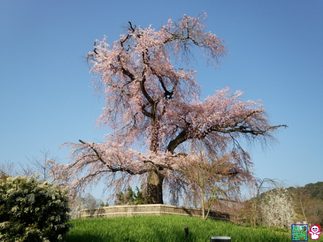 きょうの桜(祇園白川、円山公園)