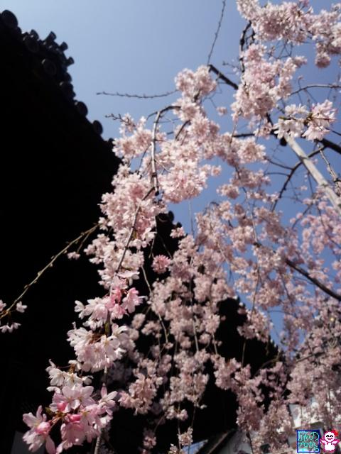 きょうの桜(因幡薬師、仏光寺)