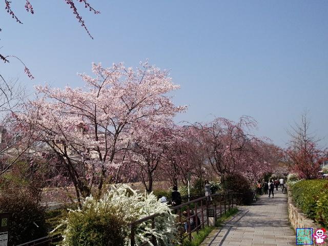きょうの桜(高瀬川、鴨川)