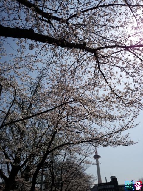 きょうの桜(東本願寺前)