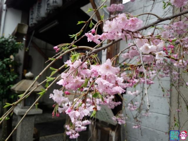 きょうの桜(松原道祖神社、五条天神)