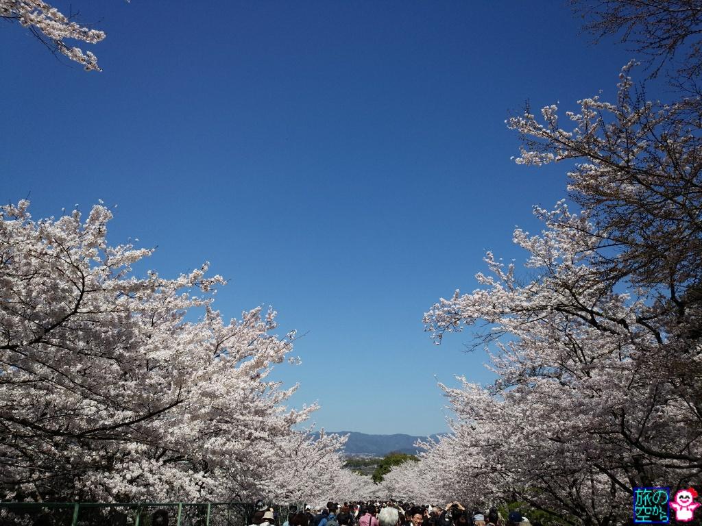 きょうの桜(インクライン)