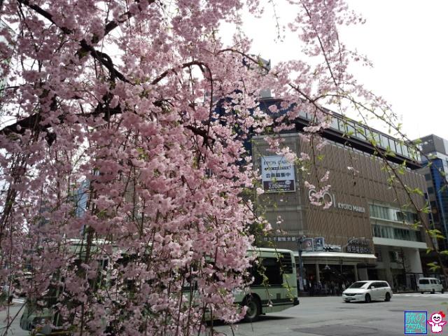 きょうの桜(四条河原町、高瀬川)