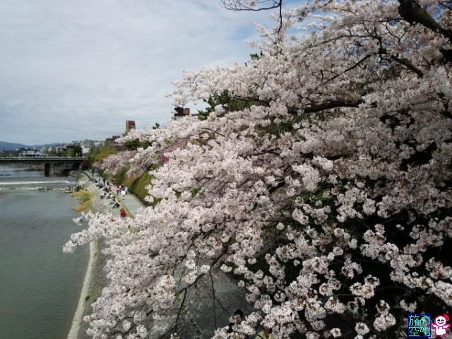 きょうの桜(四条川端上ル下ル、祇園白川)