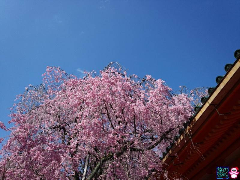 きょうの桜(平安神宮)