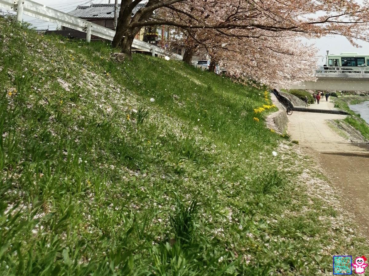 きょうの桜(賀茂川)