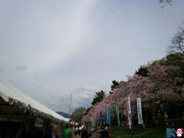 きょうの桜(賀茂川あげいん)