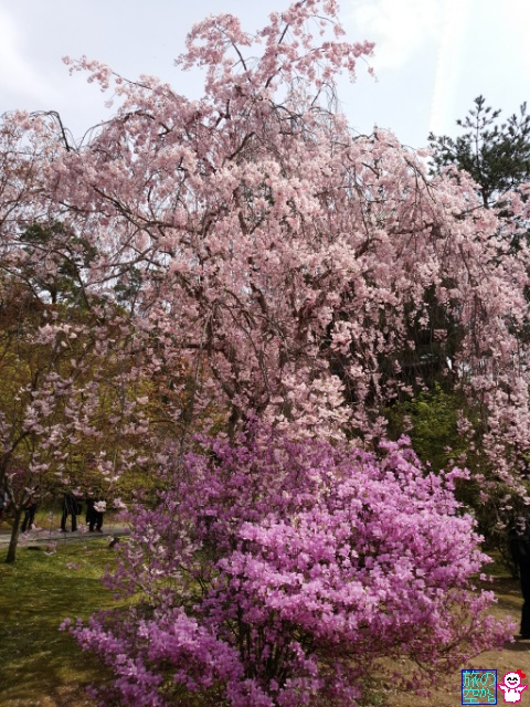 きょうの桜(御室仁和寺)