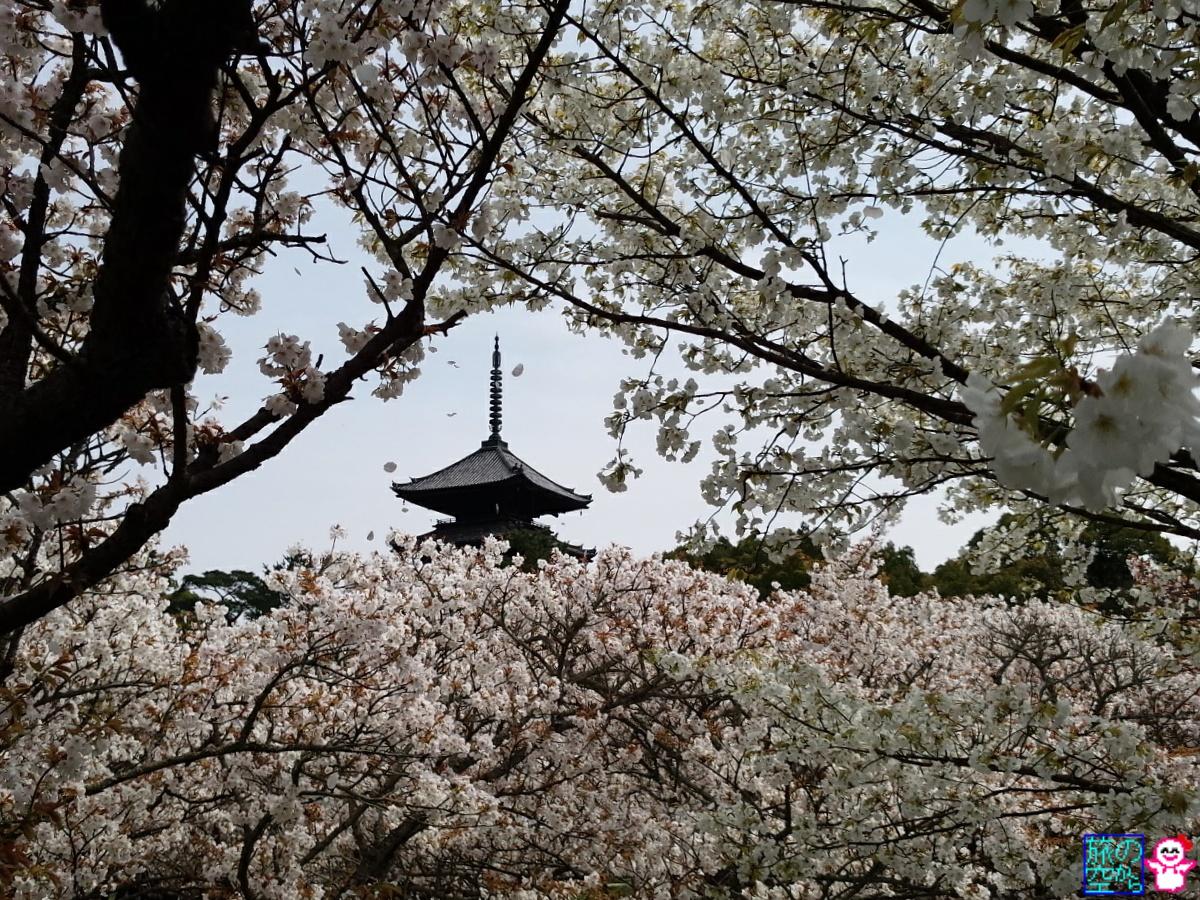 きょうの桜吹雪(御室仁和寺)