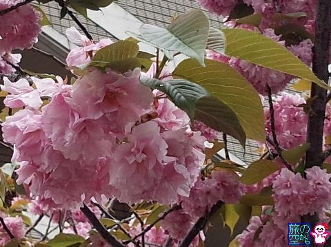 きょうの桜餅(修徳公園)