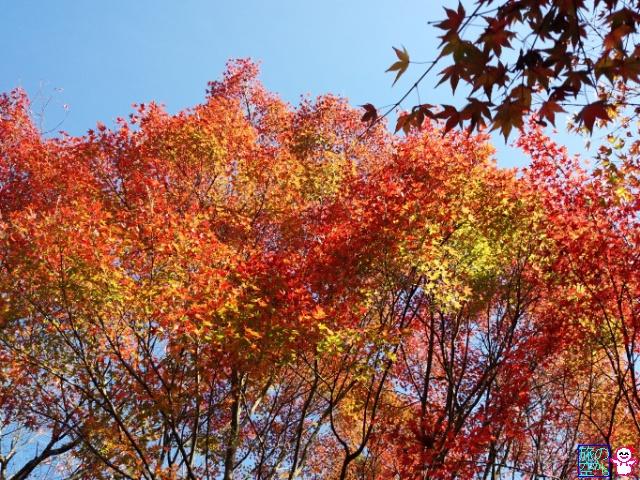 きょうの紅葉(今熊野観音寺)