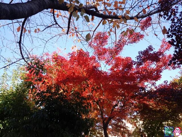 きょうの紅葉(修徳公園)
