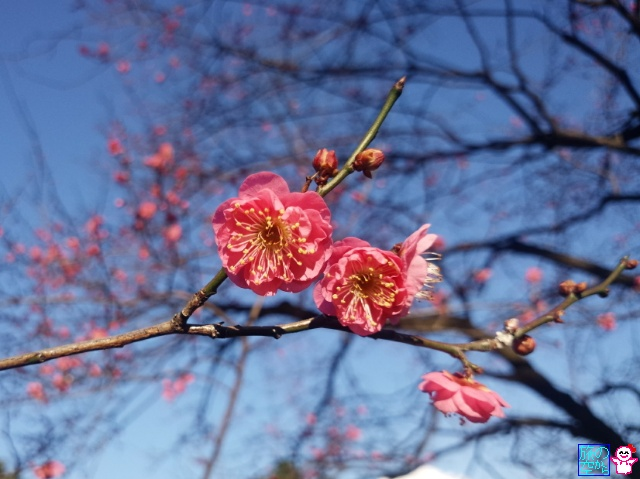きょうの梅(京都御苑)
