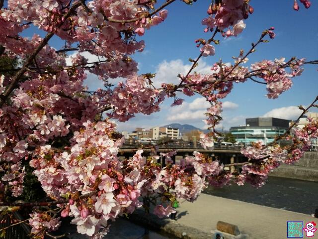 きょうの桜(三条河原)