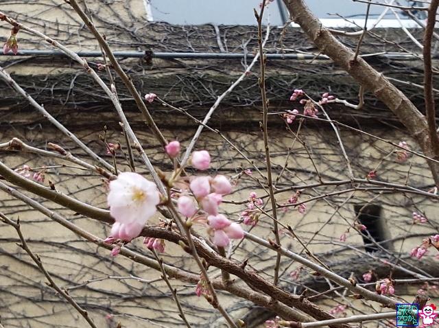 きょうの桜と梅(成徳中学跡、菅大臣天満宮)