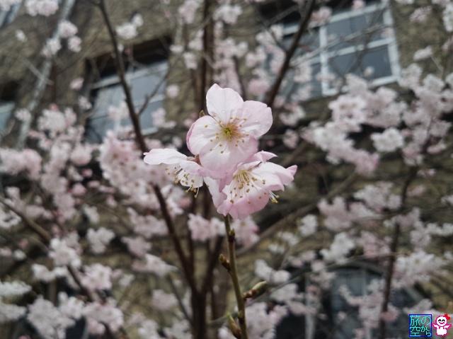 きょうの桜(成徳中学跡、新町通)
