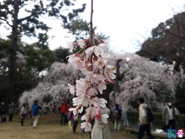 きょうの桜と桃(京都御苑)
