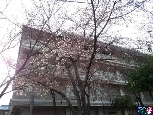 きょうの桜(東本願寺前、修徳公園)