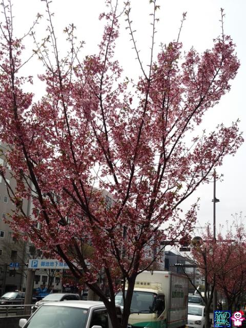 きょうの桜(御池高倉、綾西公園、菅大臣天満宮)