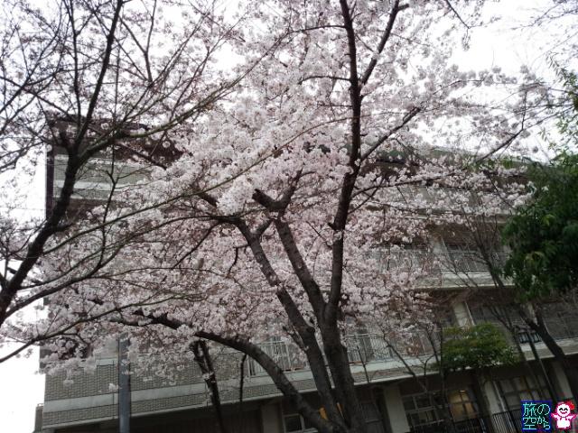 きょうの桜(東本願寺、修徳公園)
