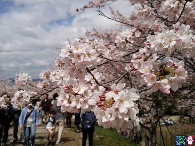 きょうの桜(インクライン、南禅寺)