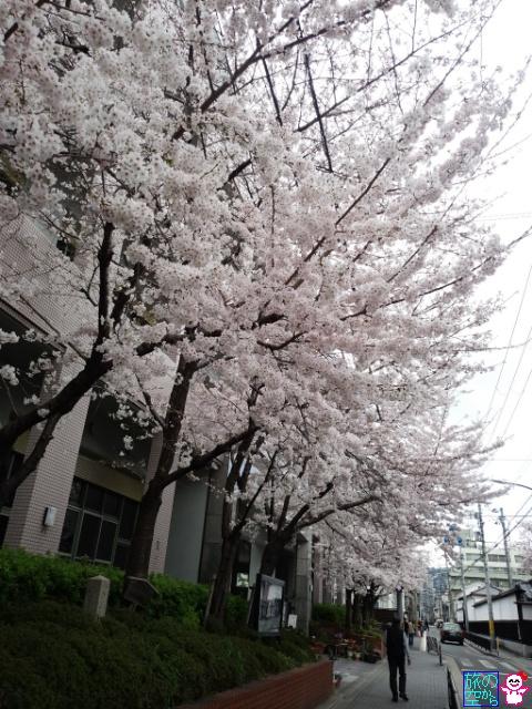 きょうの桜(御射山公園、洛央小学校、仏光寺)