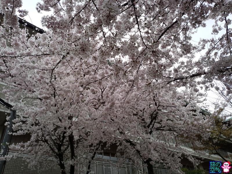 きょうの桜(修徳公園、清水寺遠景)
