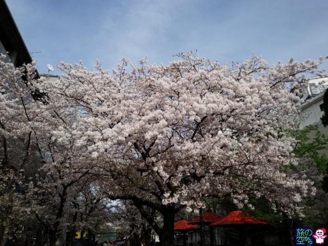 きょうの桜(祇園白川、鴨川四条上ル)