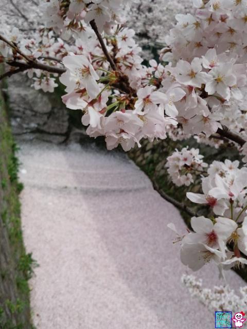 きょうの桜(哲学の道)