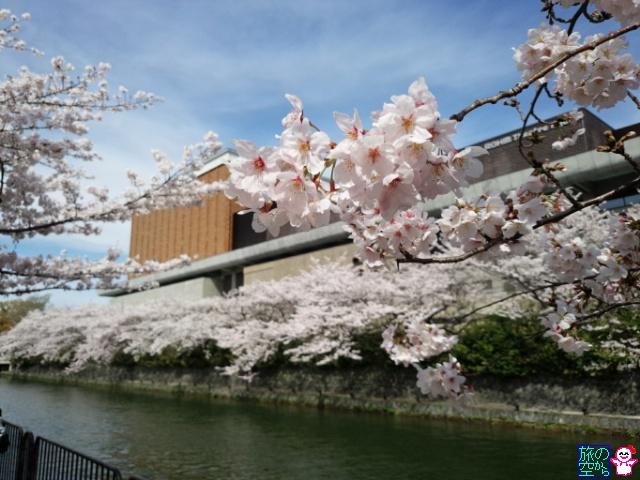 きょうの桜(岡崎疎水)
