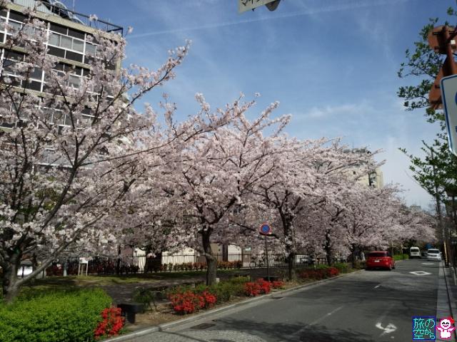 きょうの桜(木屋町五条上ル)