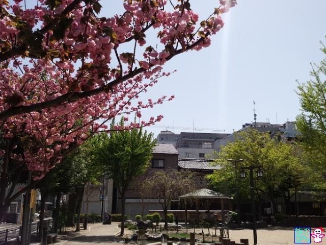 きょうの桜と梅(修徳公園)