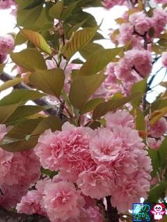 リアル桜餅(修徳公園)