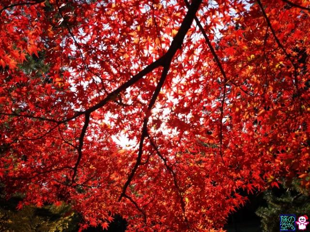 きょうの紅葉(京都御苑)