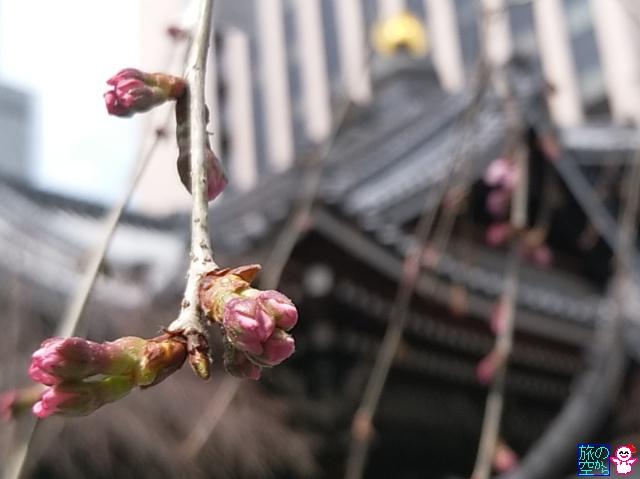 きょうの桜(新町桜、六角堂)