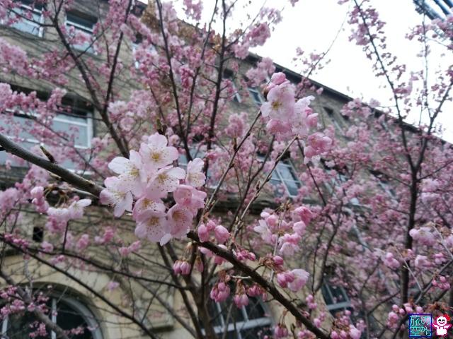 きょうの桜(成徳中学跡、六角堂、フレスコ)