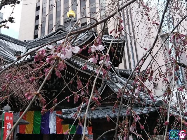 きょうの桜(成徳中学跡、六角堂)