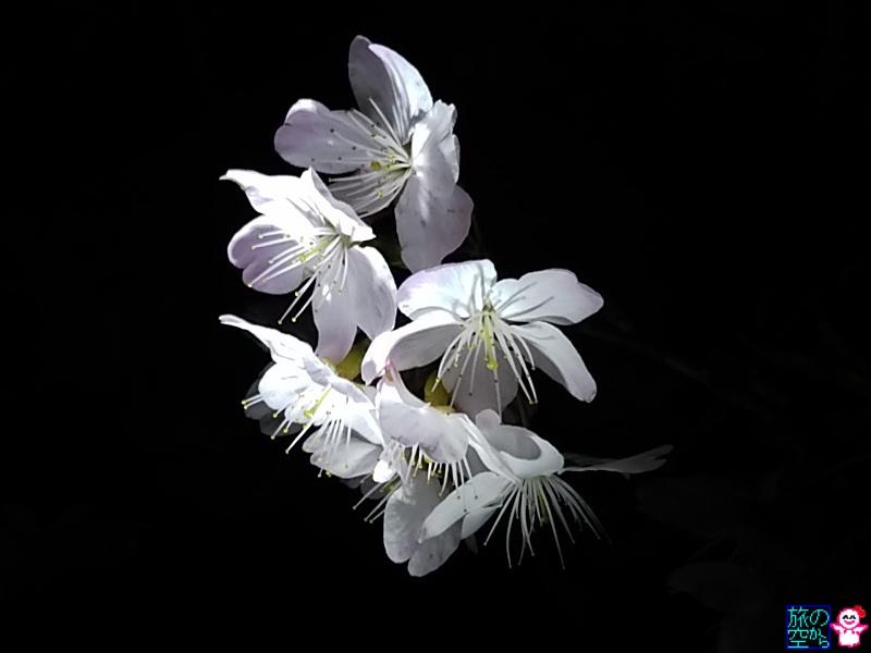 きょうの桜(修徳公園、成徳中学跡)