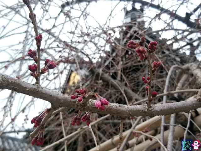きょうの桜(六角堂、洛央小学校、仏光寺、フレスコ)