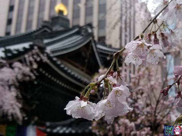 きょうの桜(六角堂、五条室町)