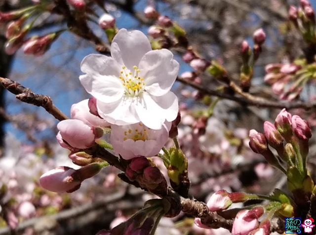 きょうの桜(菅大臣天満宮)
