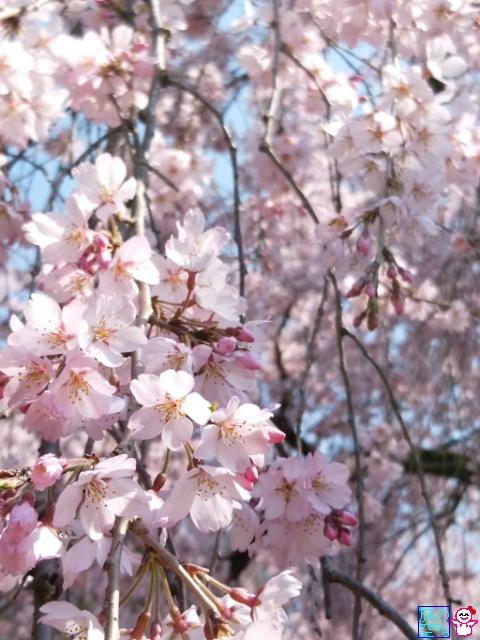 きょうの桜とか(京都御苑)