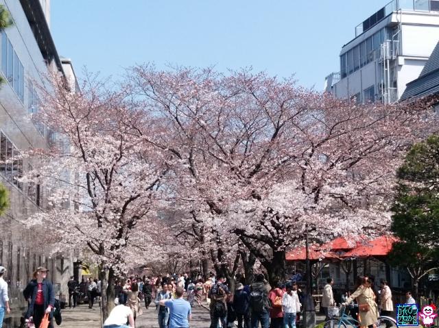 きょうの桜(鴨川、祇園白川、木屋町、四条河原町、東本願寺前)