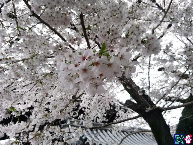 きょうの桜(仏光寺)
